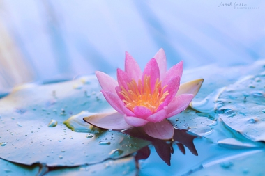 ____lotus_wallpaper_pack_____by_love4art-d4quprl